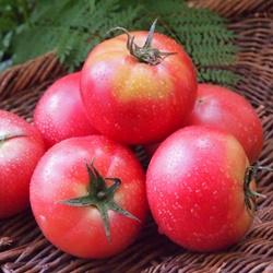 子供のトマト嫌いの理由は?克服させる為の方法まとめ